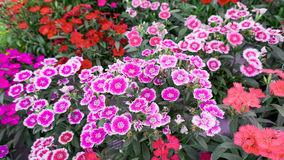 Dianthus chinensis flowerbed. Dianthus chinensis in red, pink, white color flowerbed in the garden Stock Photo