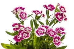 Dianthus chinensis & x28; Porcelanowy Pink& x29; Kwiaty obraz stock