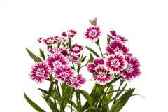 Dianthus chinensis & x28; Porcelanowy Pink& x29; Kwiaty obraz royalty free