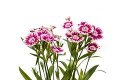 Dianthus chinensis & x28; Porcelanowy Pink& x29; Kwiaty fotografia stock