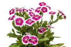 Dianthus chinensis & x28; Porcelanowy Pink& x29; Kwiaty zdjęcie stock
