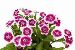 Dianthus chinensis & x28; Porcelanowy Pink& x29; Kwiaty zdjęcie royalty free