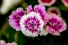 Dianthus chinensis & x28; Porcelanowy Pink& x29; Kwiaty obrazy stock