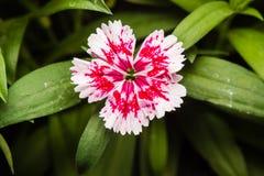 Dianthus chinensis & x28; Porcelanowy Pink& x29; Kwiaty zdjęcia stock
