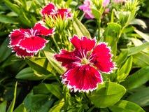 Dianthus chinensis & x28; Porcelanowy Pink& x29; Kwiaty Zdjęcia Royalty Free