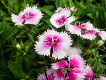 Dianthus chinensis & x28; Porcelanowy Pink& x29; Kwiaty obrazy royalty free