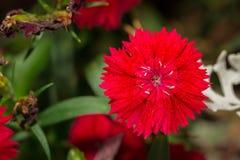 Dianthus chinensis & x28; Porcelanowy Pink& x29; Kwiaty w ogródzie fotografia royalty free