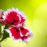 Dianthus closeup Royalty Free Stock Image
