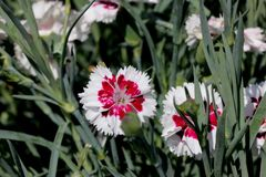 Dianthus `Coconut Surprise`. Cultivar with frilly crisp white petals swirled with deep burgundy centers. compact long blooming with spicy fragrance stock photography