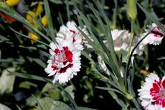 Dianthus `Coconut Surprise`. Cultivar with frilly crisp white petals swirled with deep burgundy centers. compact long blooming with spicy fragrance royalty free stock photography