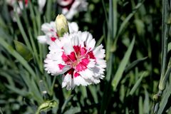 Dianthus `Coconut Surprise`. Cultivar with frilly crisp white petals swirled with deep burgundy centers. compact long blooming with spicy fragrance stock photos