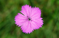 Dianthus (colore rosa di Cernation) Immagine Stock