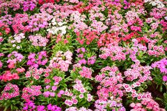 Dianthus. Colorful beautiful dianthus Flower background in the garden Royalty Free Stock Photography