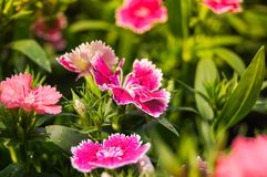 Dianthus. Colorful beautiful dianthus Flower background in the garden Stock Photography