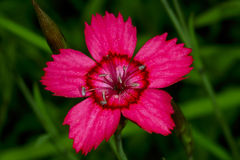 Dianthus deltoides Royalty Free Stock Images