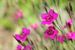 Dianthus Deltoides (Maiden Pink) Flowers Royalty Free Stock Photography