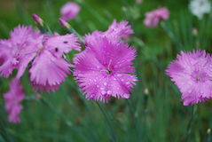 Dianthus deltoides pink flowers. Stock Photography