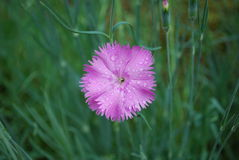 Dianthus deltoides pink flowers. Royalty Free Stock Photography