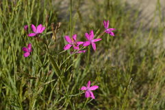 Dianthus deltoides. Small pink field flower Stock Photography