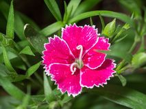 Dianthus. Purple, pink with white edges, flower with curled stamen Royalty Free Stock Photography