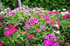 Dianthus die in de tuin bloeien Royalty-vrije Stock Foto's