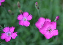 Dianthus  fischeri Spreng. Flowers in a flowerbed Stock Photography