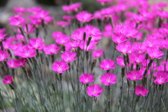 Dianthus Stock Image