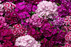 Dianthus. Dianthus flower as pink background Royalty Free Stock Photography