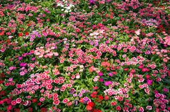 Dianthus Flower background stock photography