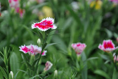 Dianthus flower. Beautiful Dianthus flower blooming in green background Royalty Free Stock Image