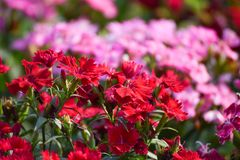 Dianthus Flower. Beautiful Dianthus Red And pink Flower in garden soft focus Stock Photo