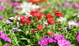 Dianthus flower Stock Images