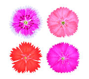 Dianthus flower,china Pink , Indian Pink isolated on white Stock Image