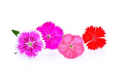 Dianthus flower,china Pink , Indian Pink isolated on white Royalty Free Stock Photos