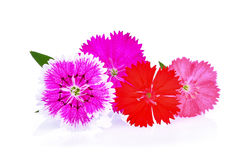 Dianthus flower,china Pink , Indian Pink on white royalty free stock images