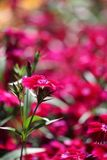 Dianthus Flower Royalty Free Stock Photos