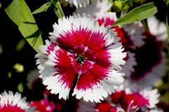 Dianthus flower detail. Red and white dianthus close-up flower detail royalty free stock image