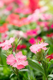 Dianthus flower , flower blossom in the garden , beautiful colo stock image