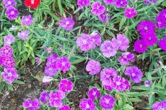 Dianthus flower in garden Royalty Free Stock Image