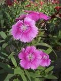 Dianthus flower. Pink Garden Flower Stock Image