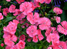 Dianthus Flower , Pink, Indian pink, China pink, Rainbow pink Stock Image