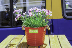 Dianthus flower. In the pot Stock Images