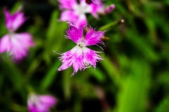Dianthus Stock Photography