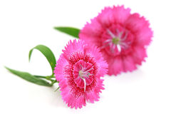 Dianthus flowers Stock Image