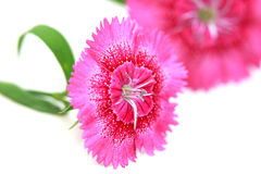 Dianthus flowers Stock Photo