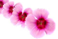 Dianthus flowers Stock Photos