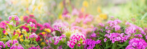 Dianthus flowers on blurred summer garden or park background, banner Stock Image