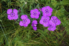 Dianthus flowers. The close-up of flowers of Dianthus chinensis Stock Images