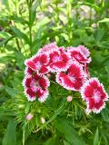 Dianthus. Flowers in front of a green background Stock Image