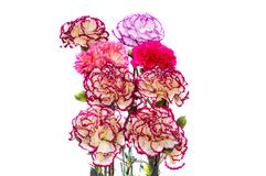 Dianthus flowers. Mixed colorful flowers of dianthus royalty free stock photos